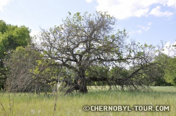 Полумёртвое дерево в Копачах
